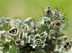 A Whimsical Composite Image of Eyes Looking Out from Lichen, a Focus Stacked Macro Image