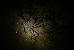 A whip spider with the two spine thudded pincers strechted out to catch a prey