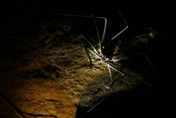 A whip spider with the two spine thudded pincers strechted out to catch a prey looking scary due to the lighting