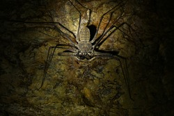 A whip spider, with two large spine thudded pincers, looking scary due to the scarce light from the torch