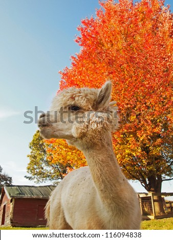 A white alpaca gazes off thoughtfully in front a vibrant orange tree and a small red barn, on a farm in the autumn.