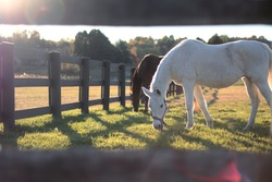 A white and a brown horse graze in their paddock while the sun shines through a fence.