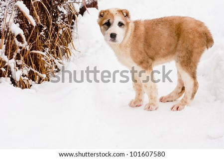 A white and brown central asian puppy stand in snow