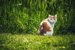 A white and brown outdoor cat is sitting in front of a long grass field while looking at the camera