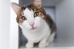 A white and striped cat sitting on a white shelf. Pets in a house concept. A cat portrait.