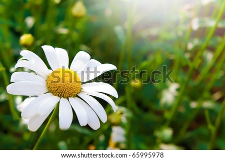 A white and yellow daisy on a background of green