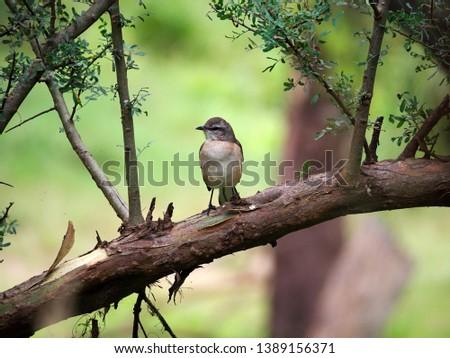 A white-banded mockingbird (Mimus triurus) on a tree branch in Parque Sarmiento park, Cordoba City, Cordoba, Argentina.