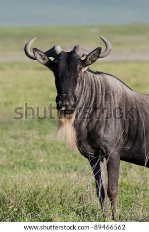 A white-bearded wildebeest in the Serengeti National Park, Tanzania