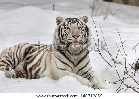A White Bengal Tiger, Calm Lying On Fresh Snow.