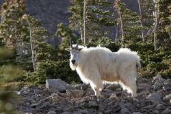A white billy goat up in the Bridger Mountain Range.