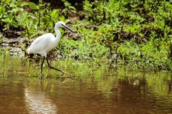 A white bird searching for food in the swamps of the Lake Manyara