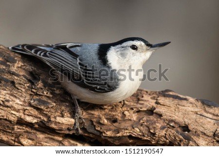 A white-breasted Nuthatch perched on a log.