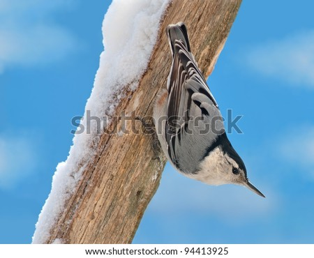 A White- breasted Nuthatch (Sitta carolinensis) on a snowy oak branch.