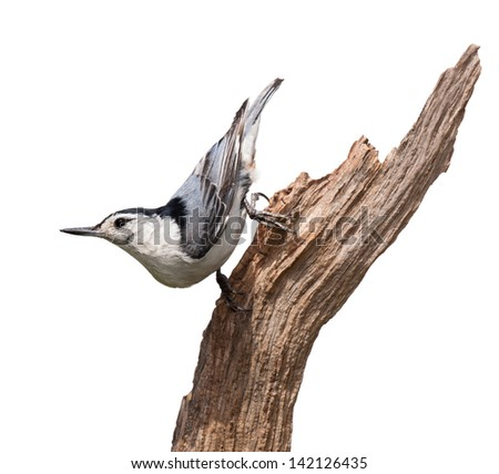 A white-breasted nuthatch struts down a piece of driftwood. The multi colored blue wing feathers,  with dashes of orange standout against its white breastplate. White background.