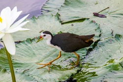 A white-breasted waterhen (Amaurornis phoenicurus) is walking on the lotus leaves in   Hampstead Wetlands Park Singapore.  A waterbird of the rail and crake family, Rallidae.