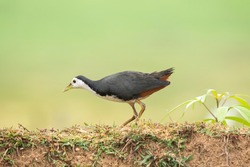 A white breasted waterhen feeding on rice paddy on the edges of a paddy field on the outskirts of Shivamooga, Karnataka