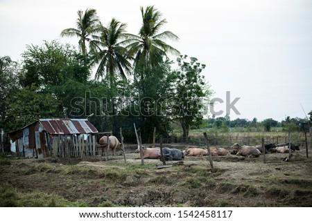 A white buffalo or albino buffalo in Thai farm. Cute animal looking to camera. Concept of agrotourism in thailand