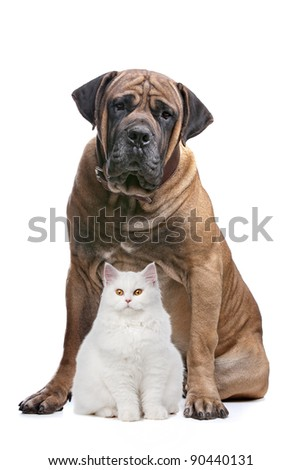 a white cat and a big dog in front of a white background - stock photo
