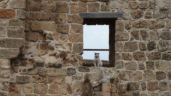 A white cat on a window in an old stone wall in Akko in Israel