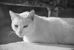 A white cat, resting on a low wall under a rusty metal railing in Gozo, Malta. Feral cat, adapted to living outside. Photo in black and white.