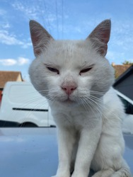 A white cat smirking at the camera. Animal background.