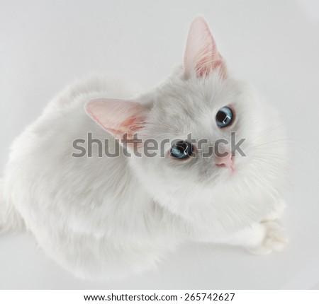 A white cat with blue eyes sitting on a white background looking up to the camera