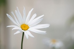 A white chamomile flower blooming in meadow in spring and summer One white daisy flower isolated on a background. thin stalk side view