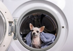 A white Chihuahua dog lies under a shirt in a washing machine with an open door. The dog looks ahead carefully and listens.