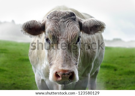 A white cow head looking, staring intensely at camera with steam coming out of her nose