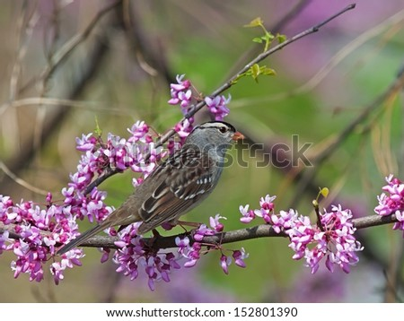 A white crowned sparrow perched on the pink buds of a redbud tree.