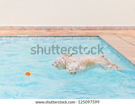 A white dog jumping into the swimming in the pool to get his ball toy.