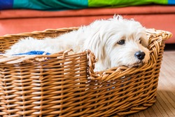 A white dog relaxing in is wicker bed