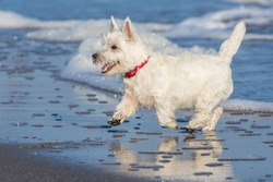 A white dog runs along the seashore. West Highland White Terrier is running. Seashore and waves. The dog's coat, nose, ears and tail are wet. Puppy is happy.