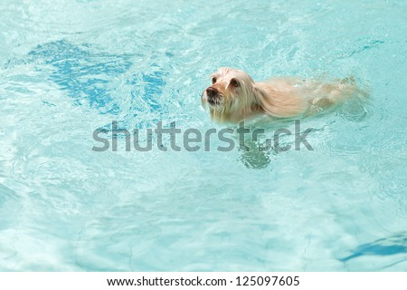 A white dog swimming in the pool, with room for text.