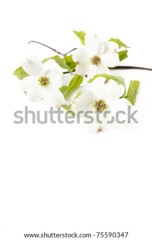 A white Dogwood branch with flowers on a white vertical background, focus on front flower