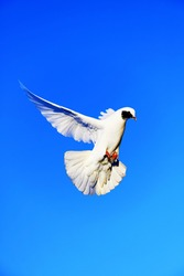 A white dove, illuminated by the evening sun, flies in the blue sky. A symbol of peace and love. Takeoff to the top.