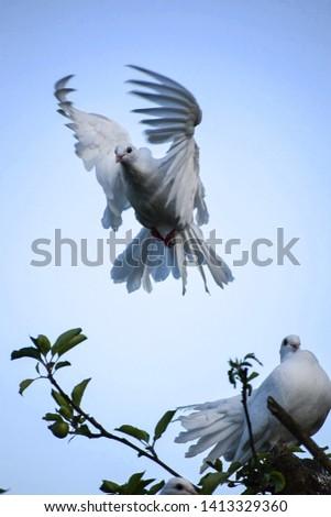 A white dove in flight #1413329360