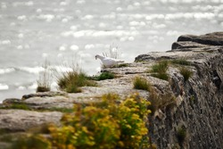 A white dove looks down at the seafront from an old stone wall