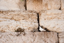 A white dove perches among cracks in stones in Jerusalem's Western Wall, the holiest site in Judaism.