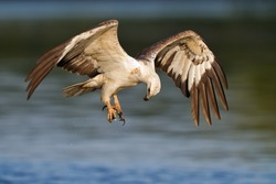 A white eagle flying over the water