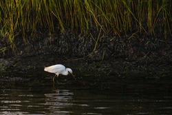 A white egret in the salt marshes near Little Egg Harbor, New Jersey