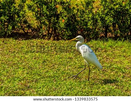 A white Egret parades across a grass verge in Negombo. Sri Lanka  #1339833575