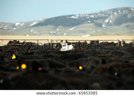 A white faced black Angus cow pokes its head above a herd of beef cattle.