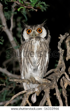 A white-faced owl (Outs leucotis) sitting in a tree, Kalahari desert, South Africa