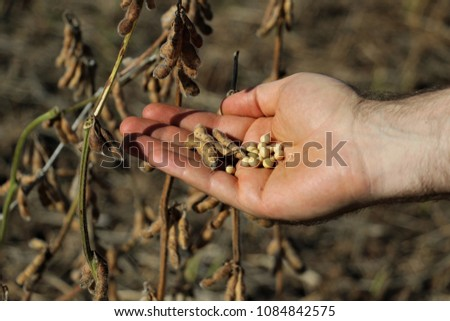A white farmer's hands showing some yellow soybeans and brown pods. Dried grains, soy bean cultivation ready to be harvested in the south of Brazil.