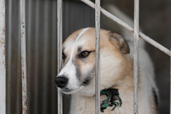 A white fawn dog with light brown eyes peeks out of an enclosure in a shelter for homeless animals. The animal is not free. A dog locked in a cage. The pet is behind bars.