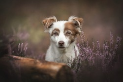 A white female mixed breed dog sitting among flowering heather bushes against the background of the autumn forest and looking directly into the camera