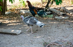 A white female turkey or Meleagris gallopavo is walking on the ground as it is domestically reared in the rural backyard for a source of protein at home.
