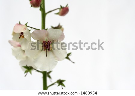 a white flower (torch) against a white background
