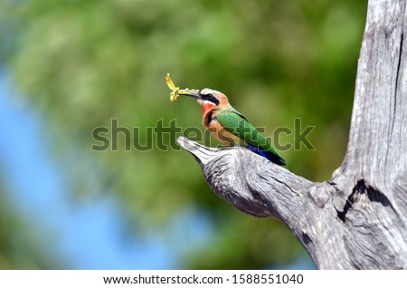 A white fronted-fronted bee eater catches a yellow butterfly in the Chobe National Park in the northern part of Botswana. This photo was taken from a boat on the Chobe river in October 2016